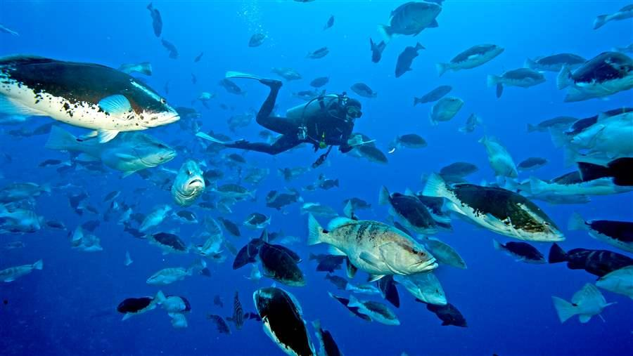 Nassau_grouper_spawning