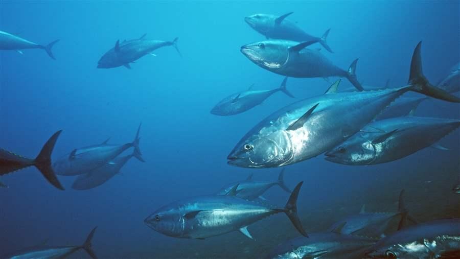 No Action Taken to Save Pacific Bluefin