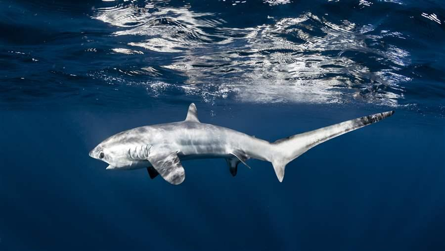 pelagic thresher shark swimming