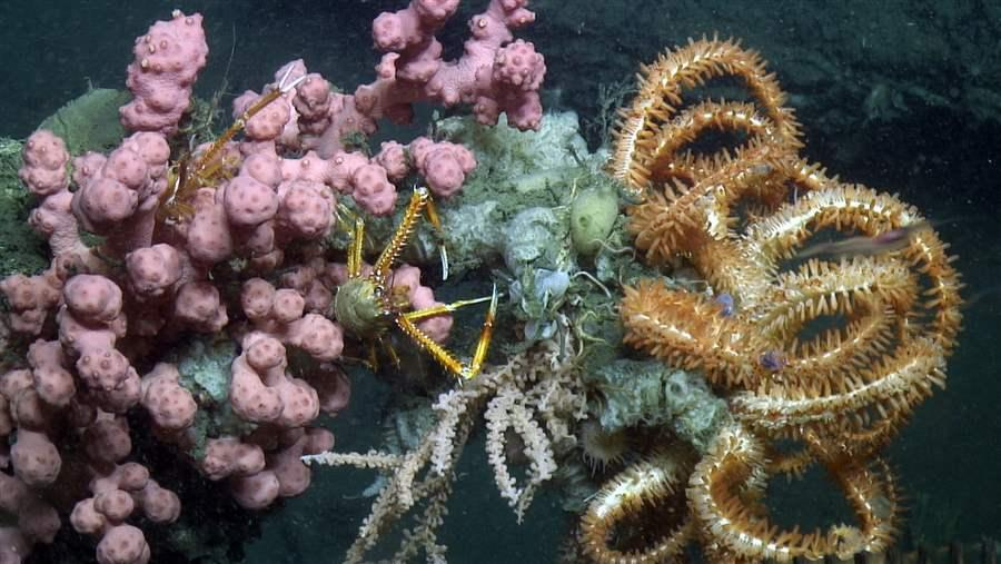 deep-sea coral and lobster