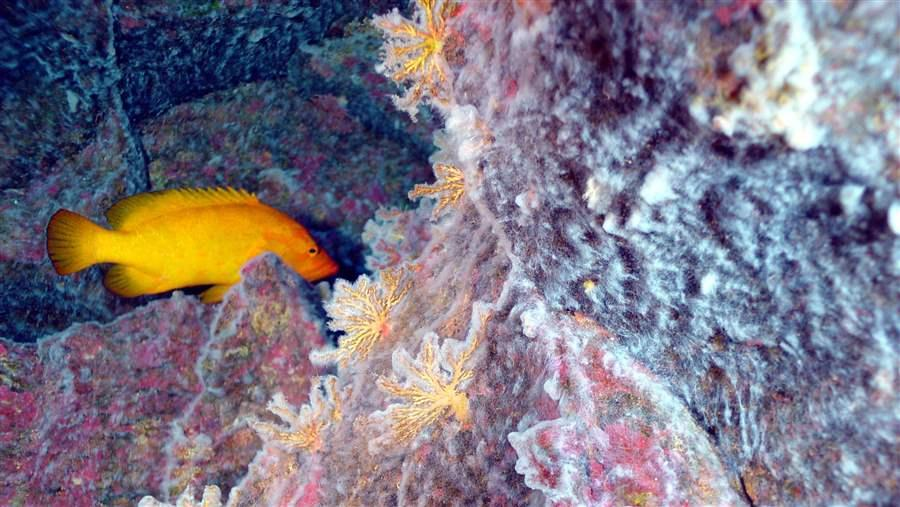 Pitcairn fish and coral