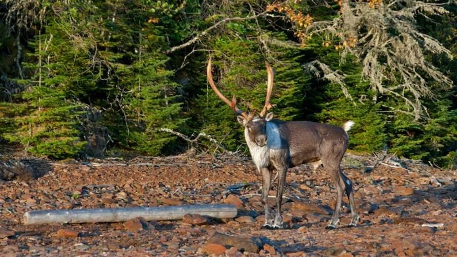 Woodland caribou are a threatened species in Canada