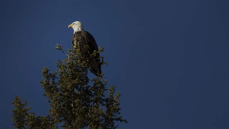 bald eagle above little doctor lake