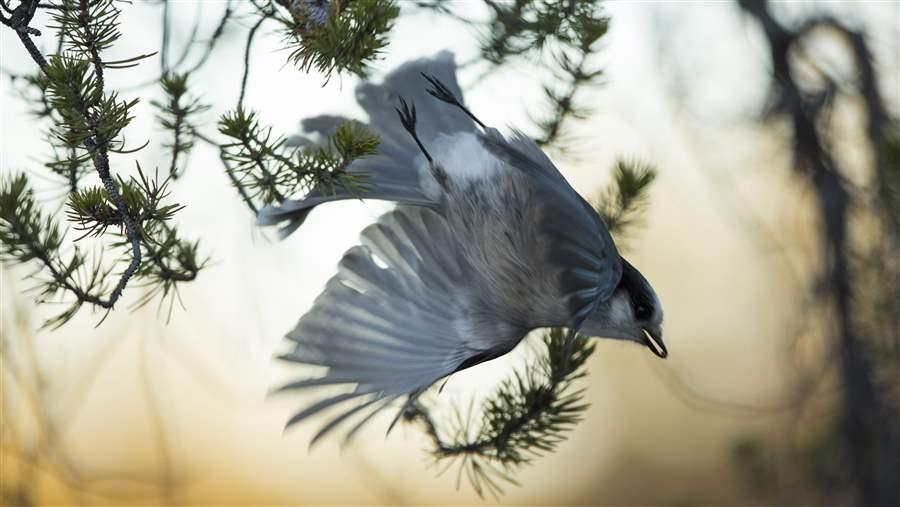 gray jay in the boreal forest
