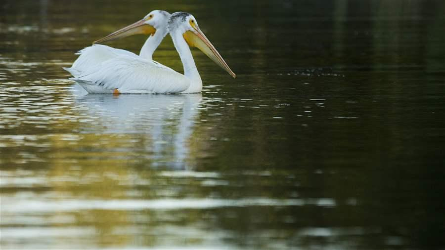 white pelicans in the boreal forest