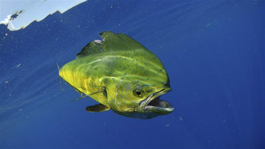 Protecting the waters around the Austral Islands would help mahimahi