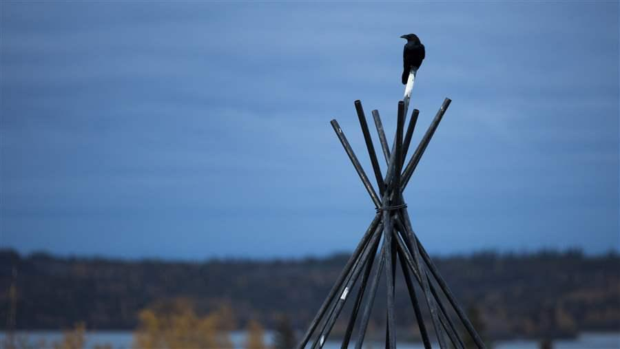 A common raven perches atop a tepee frame in Yellowknife, Northwest Territories.