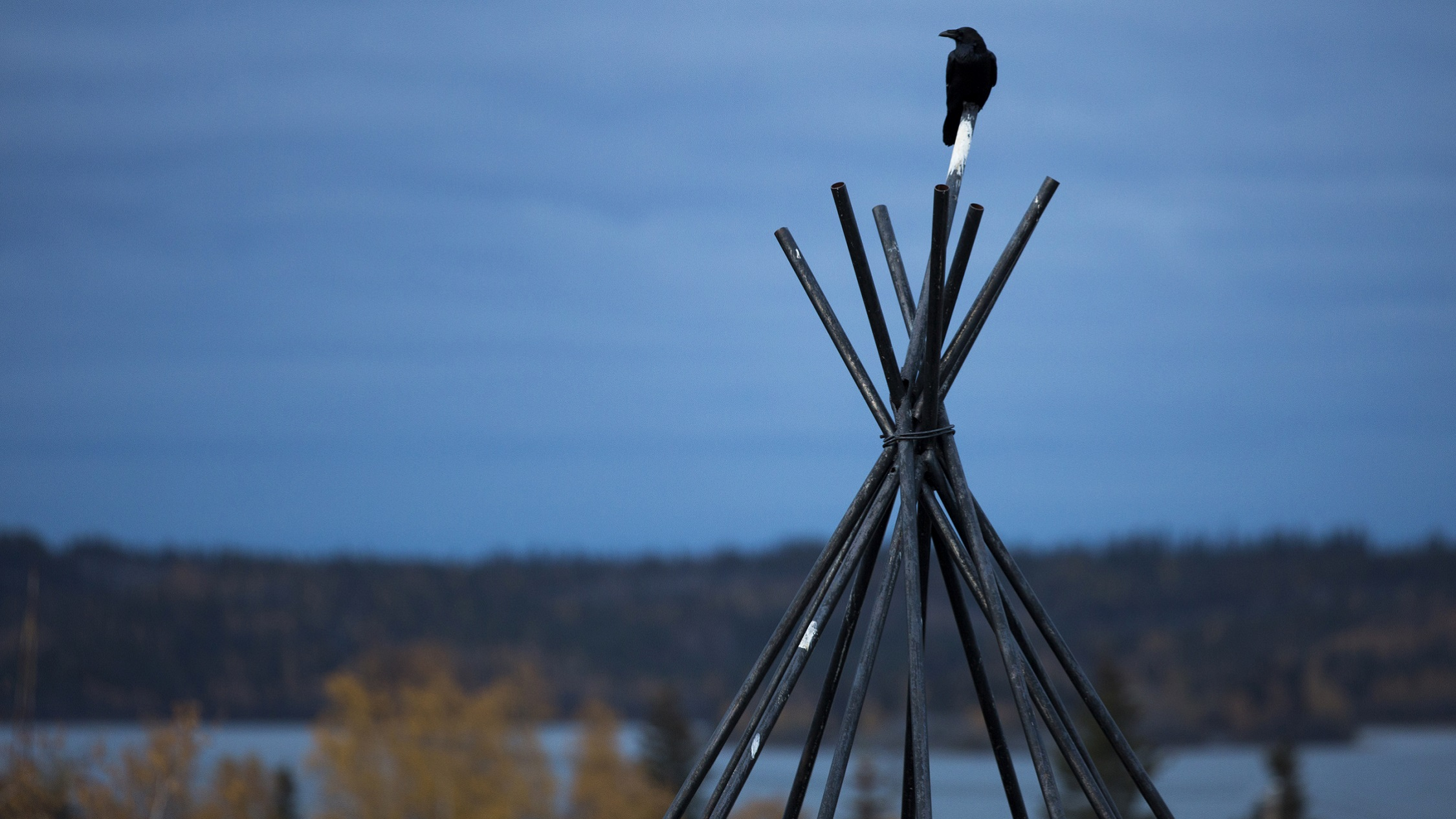 A common raven perches atop a tepee frame in Yellowknife, Northwest Territories