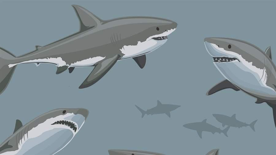 Great white sharks are apex predators in the White Shark Café.