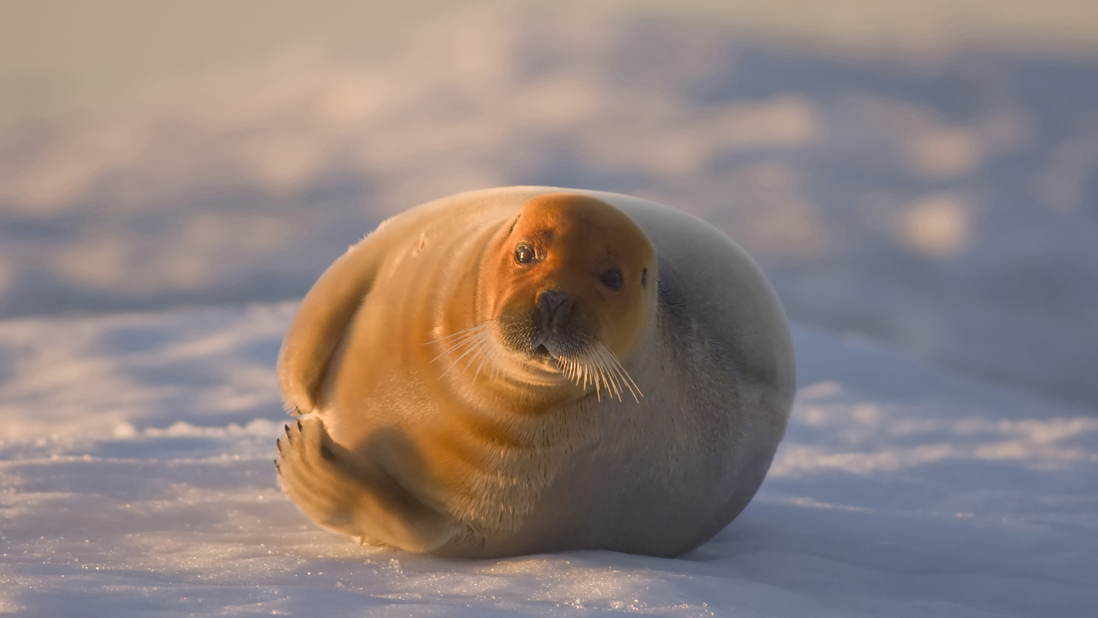 Bearded seals are common in shallow Arctic waters. High concentrations of these animals assemble in the nearshore Chukchi Coastal Buffer to give birth to pups in spring.