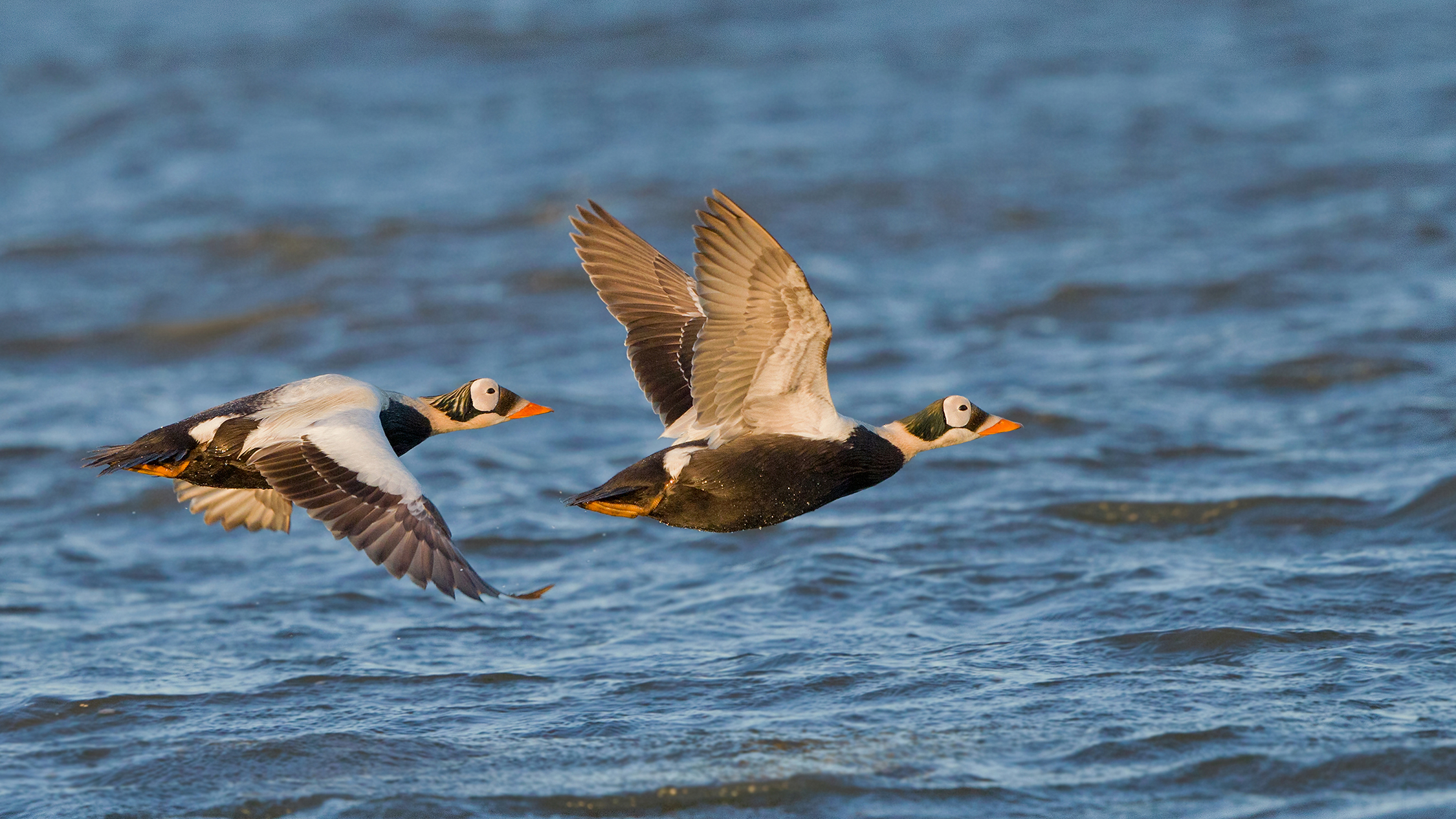 A pair of spectacled eider drakes fly over the coastal waters of Barrow, Alaska. Millions of seabirds migrate across long stretches of the Arctic Ocean each year, using marine habitat to feed, rest, and breed.