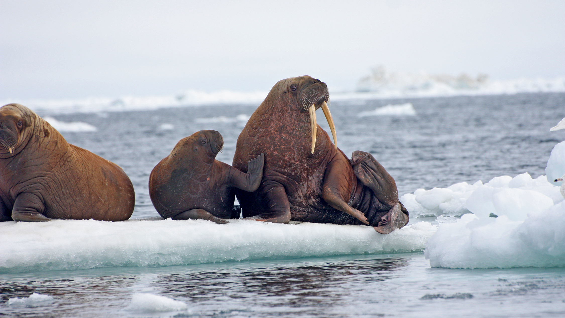 Areas such as the Hanna Shoal in the Chukchi Sea are essential habitat for walruses, which rest in family groups between foraging and migrating.