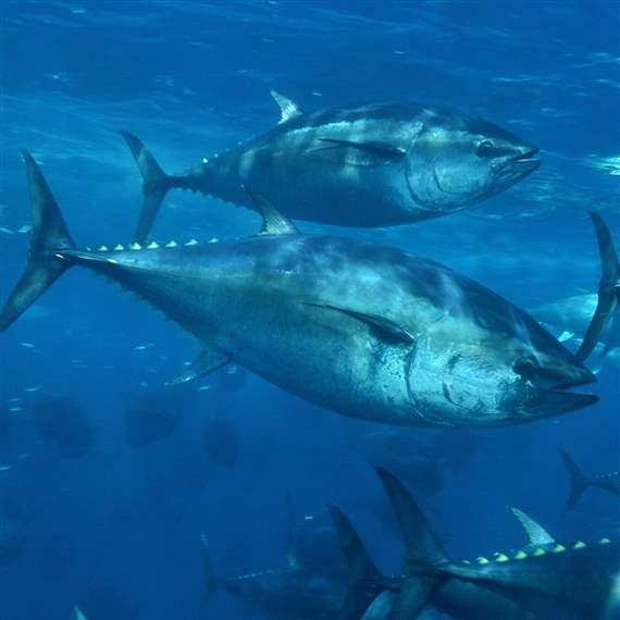 Illegal fishing Tuna