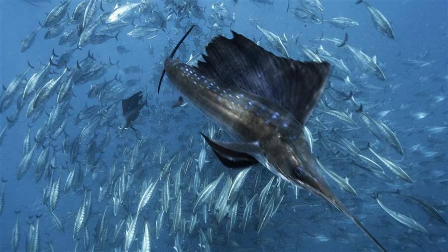 Forage fish are vital for marine ecosystems.