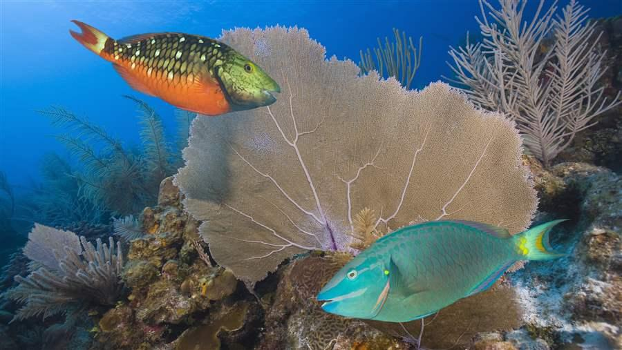 Stoplight parrotfish are commercially important