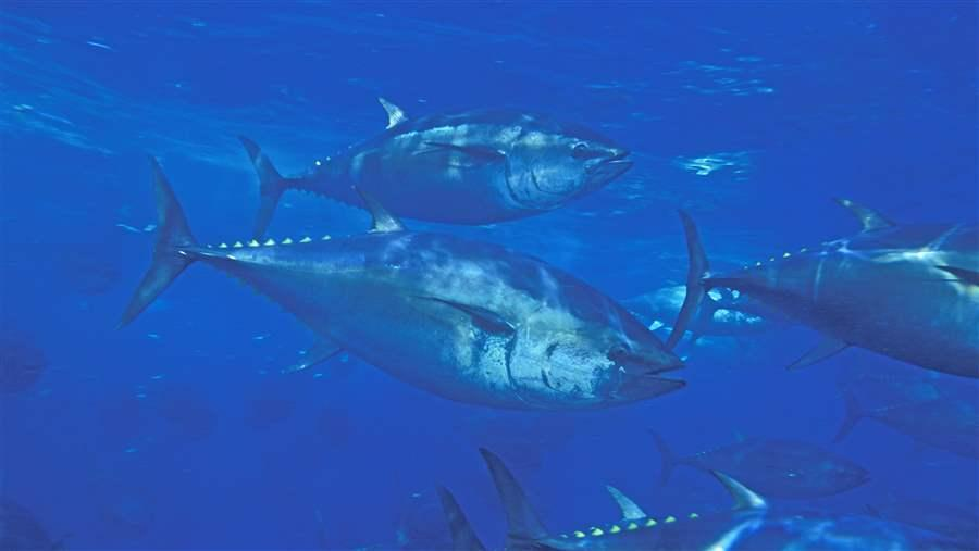 Pacific Bluefin
