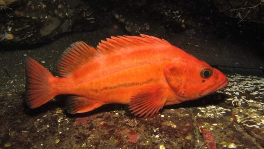 Yelloweye rockfish and other fish with depleted populations need rebuilding