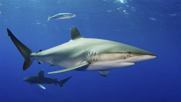Silky sharks are one of many marine species around Papahānaumokuākea