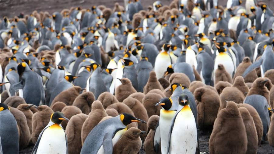 Penguins in Gold Harbour