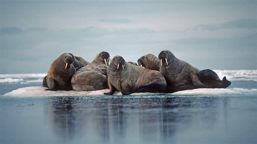 Bearing Sea walruses
