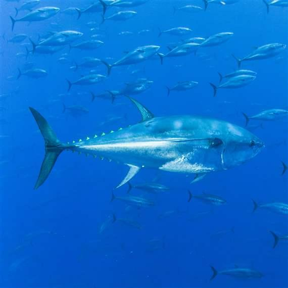 Atlantic Tunas