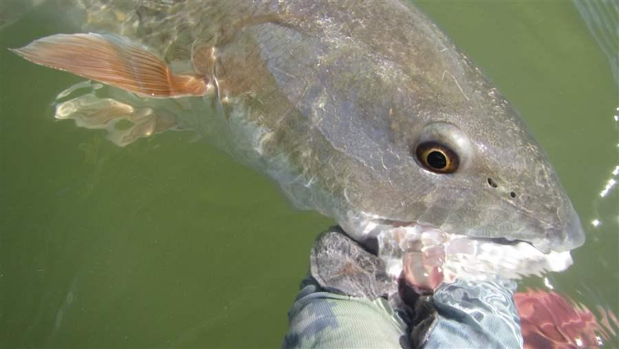 Redfish diets