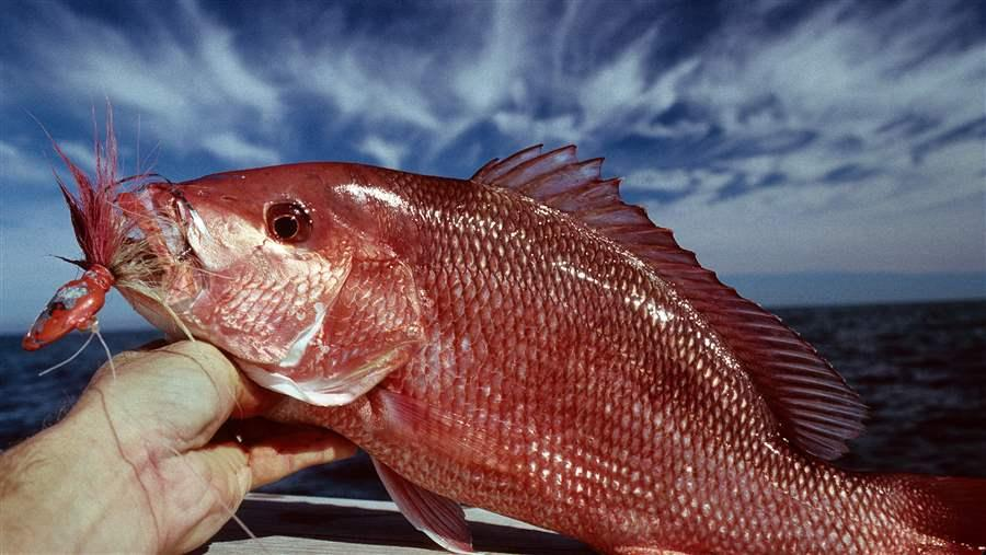 Overfishing of Gulf Red Snapper