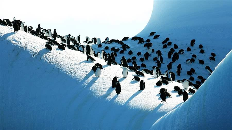 Chinstrap penguins gather