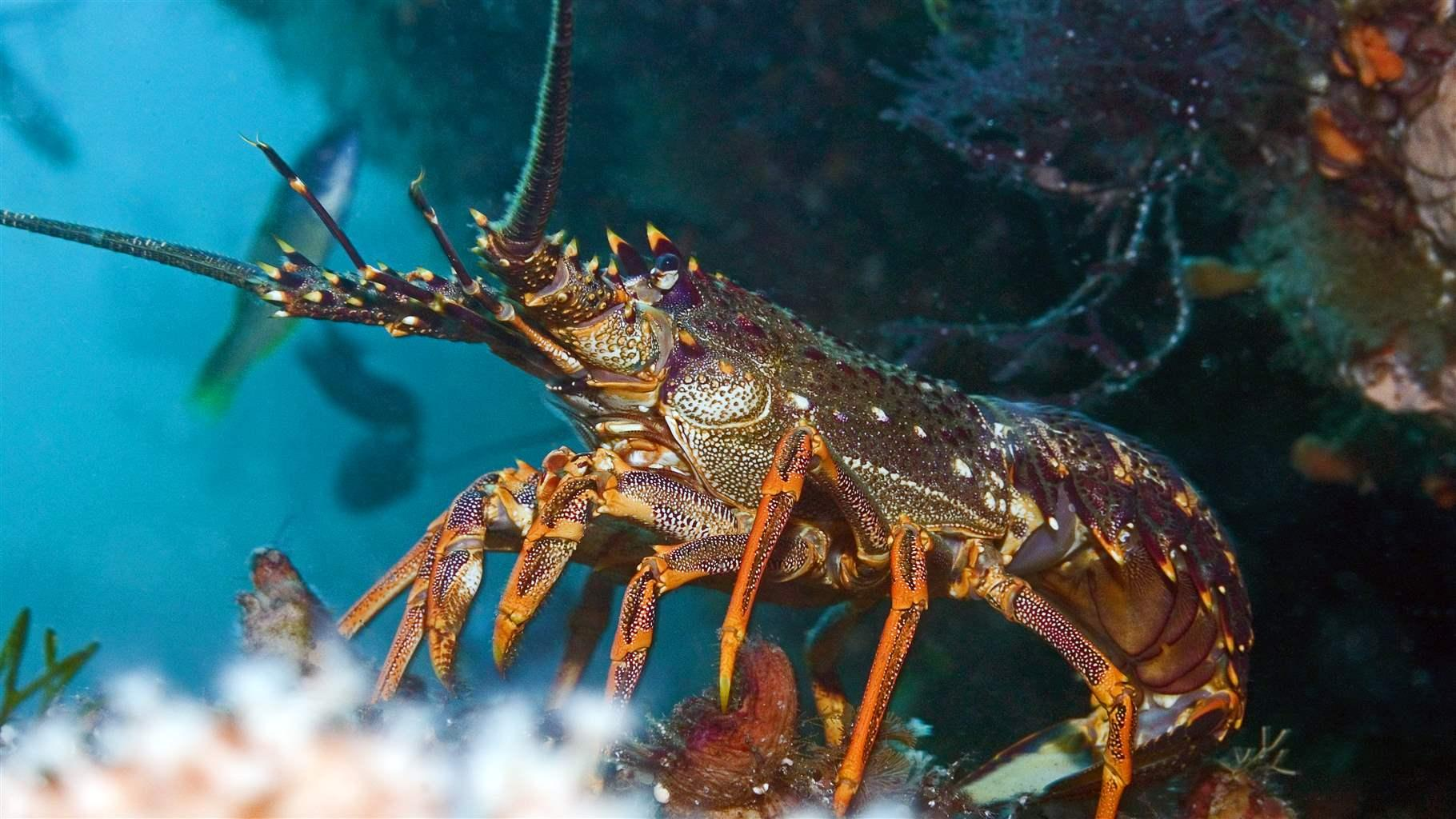 The giant spiny lobster