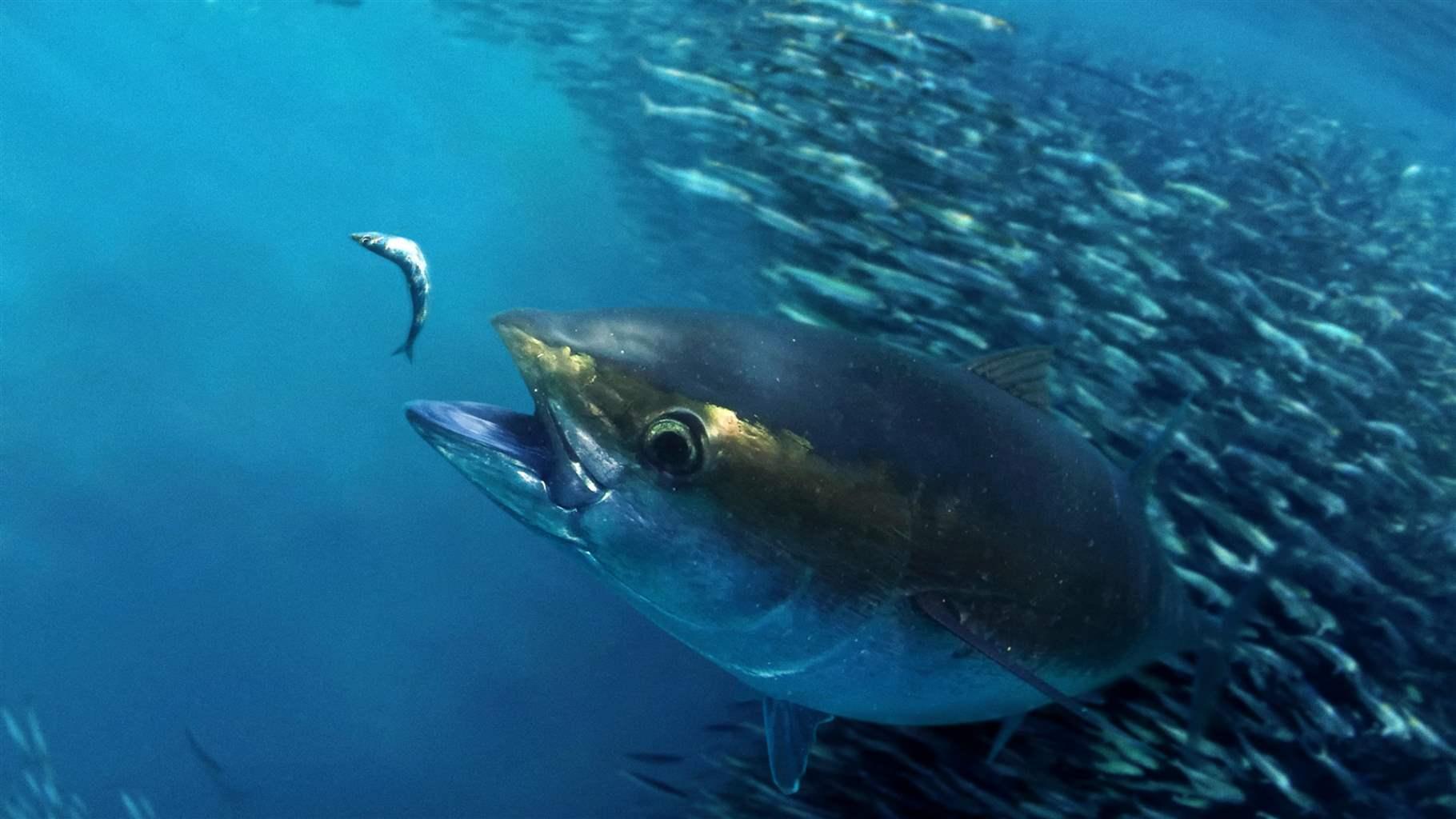 the story of atlantic bigeye tuna the pew charitable trusts