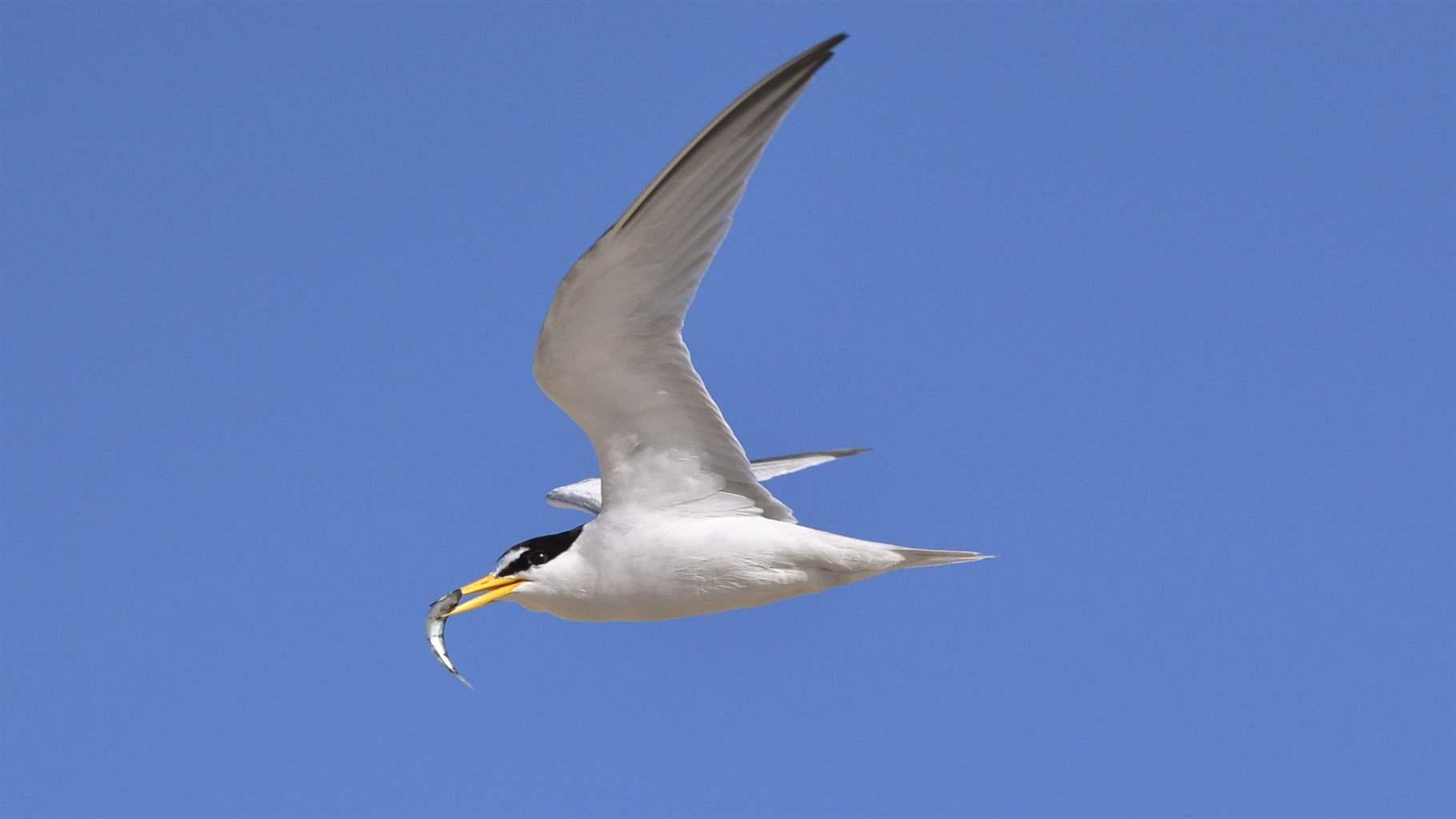 on california coast endangered tern depends on healthy