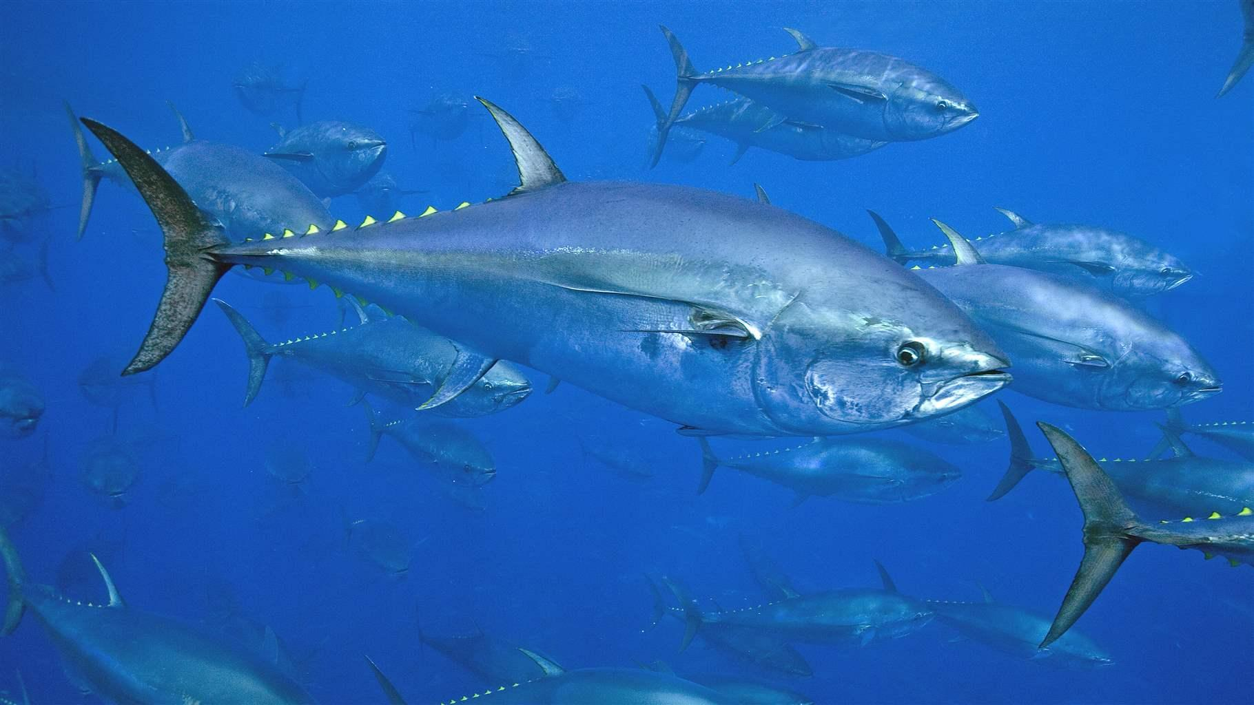 Huge Fishing Bust Exposes Weaknesses in Bluefin Tuna ...