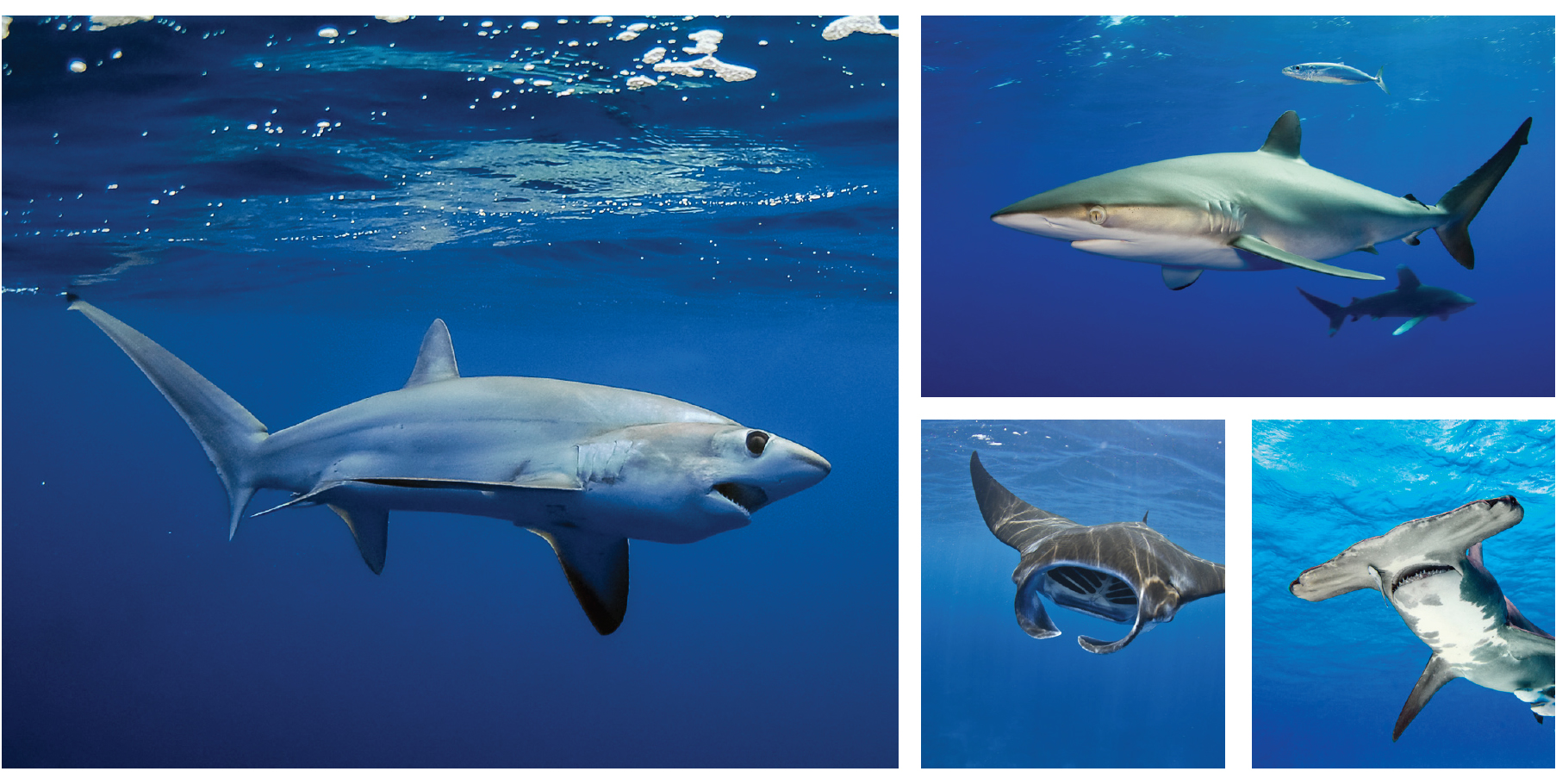 1. Thresher shark/Jason Arnold 2. Silky shark/Jim Abernethy 3. Manta ray/Getty Images 4. Hammerhead shark/Getty Images