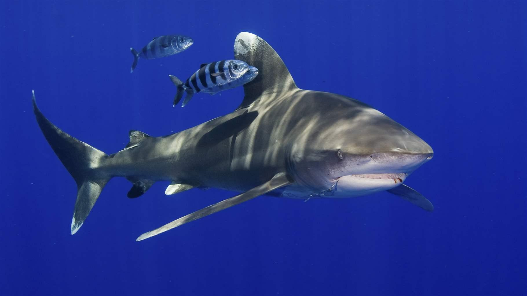 The top 10 coolest sharks in Australia, according to our