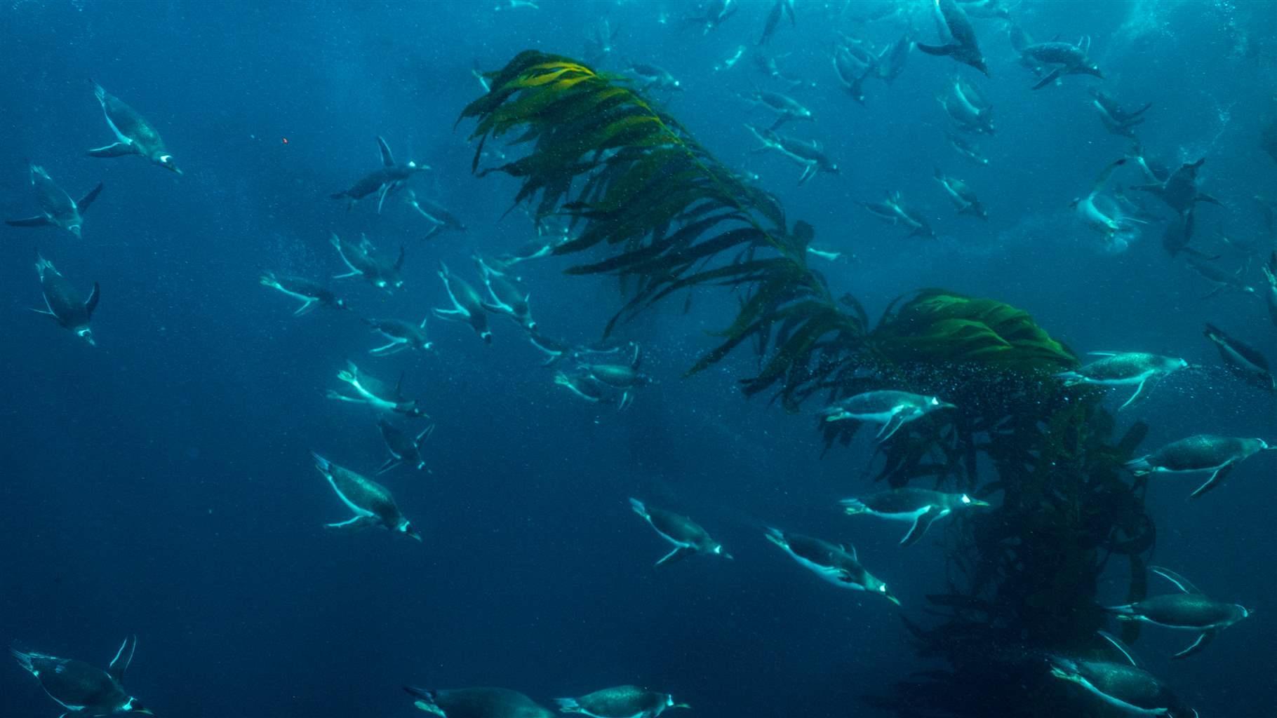 Penguins in kelp forest