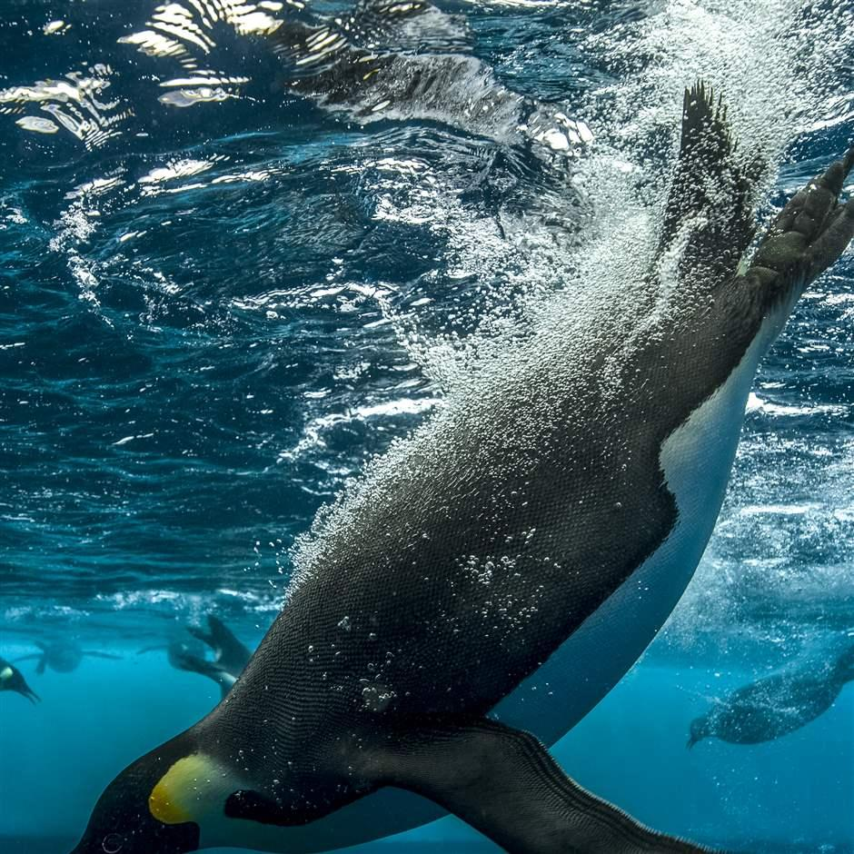 Diving penguin