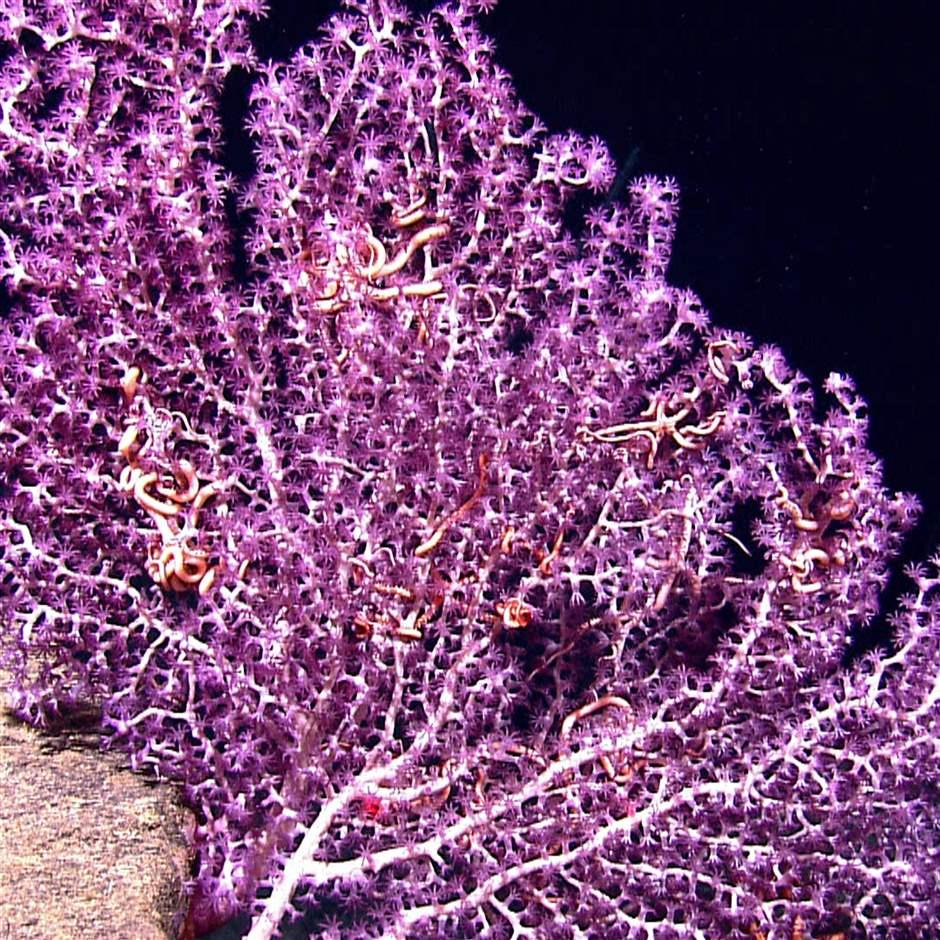 white branched octocoral