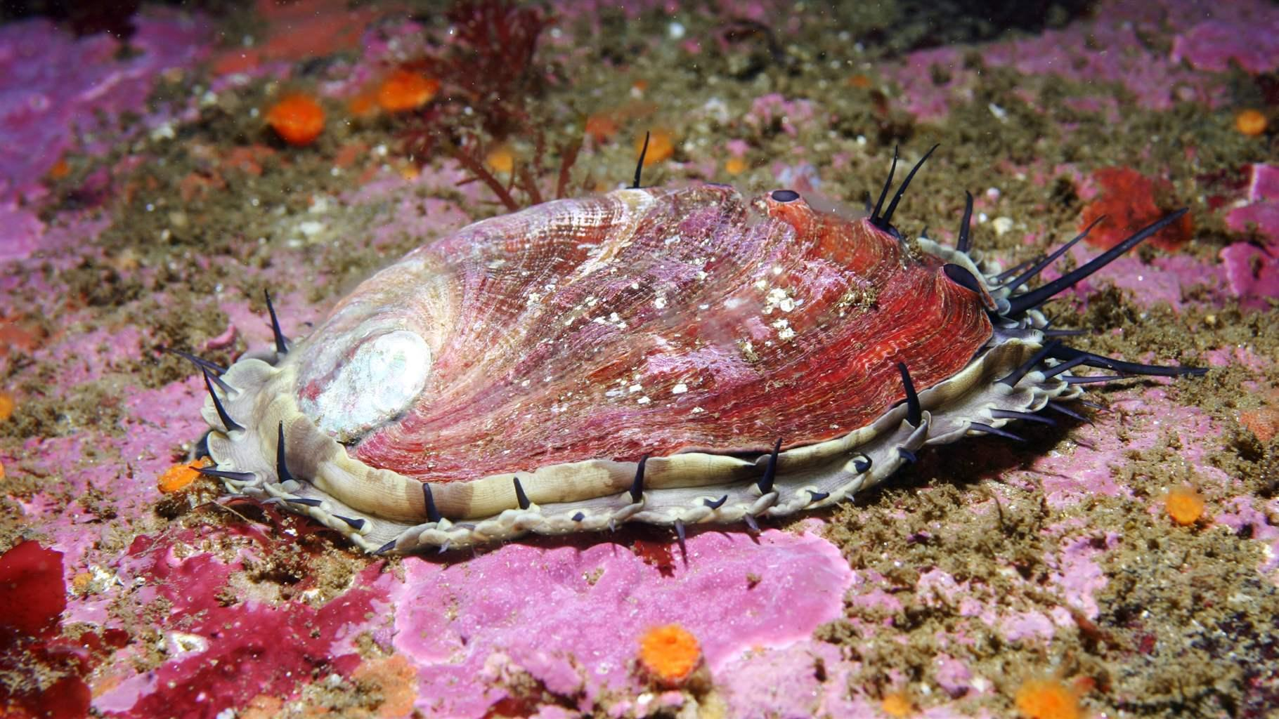 Red abalone