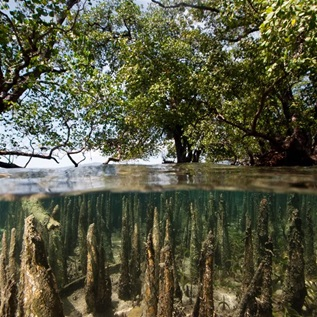 Mangroves at high tide