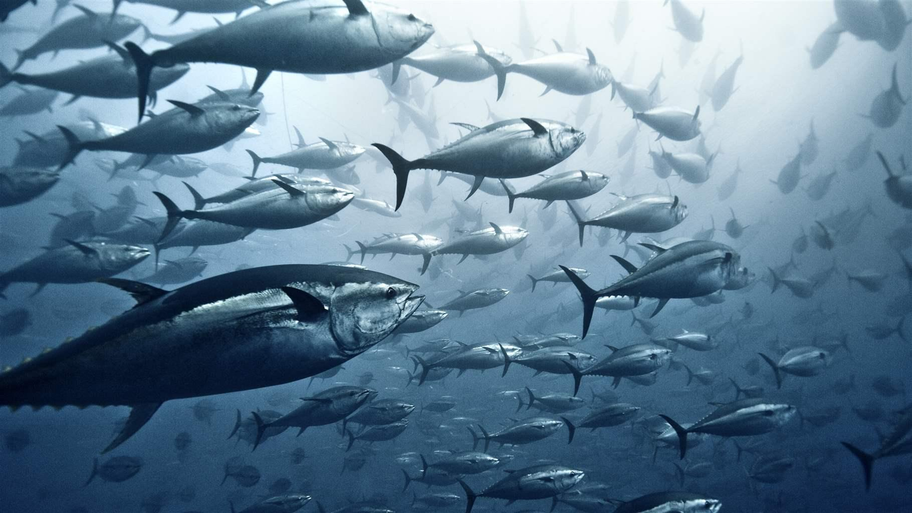 Large group of Yellowfin tuna