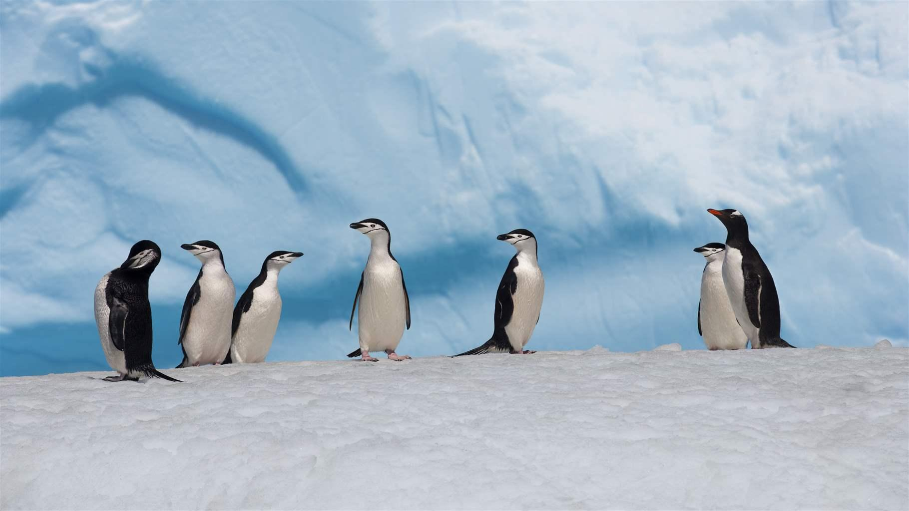 chinstrap and gentoo penguins