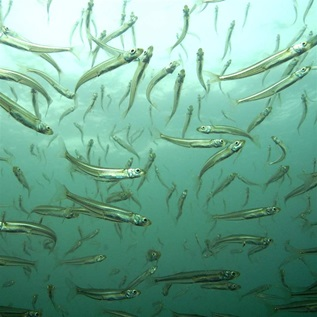 atlantic silversides