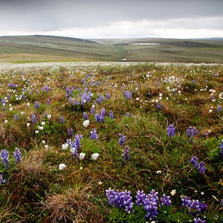 Alaska's National Petroleum Reserve is full of wildflowers and wildlife