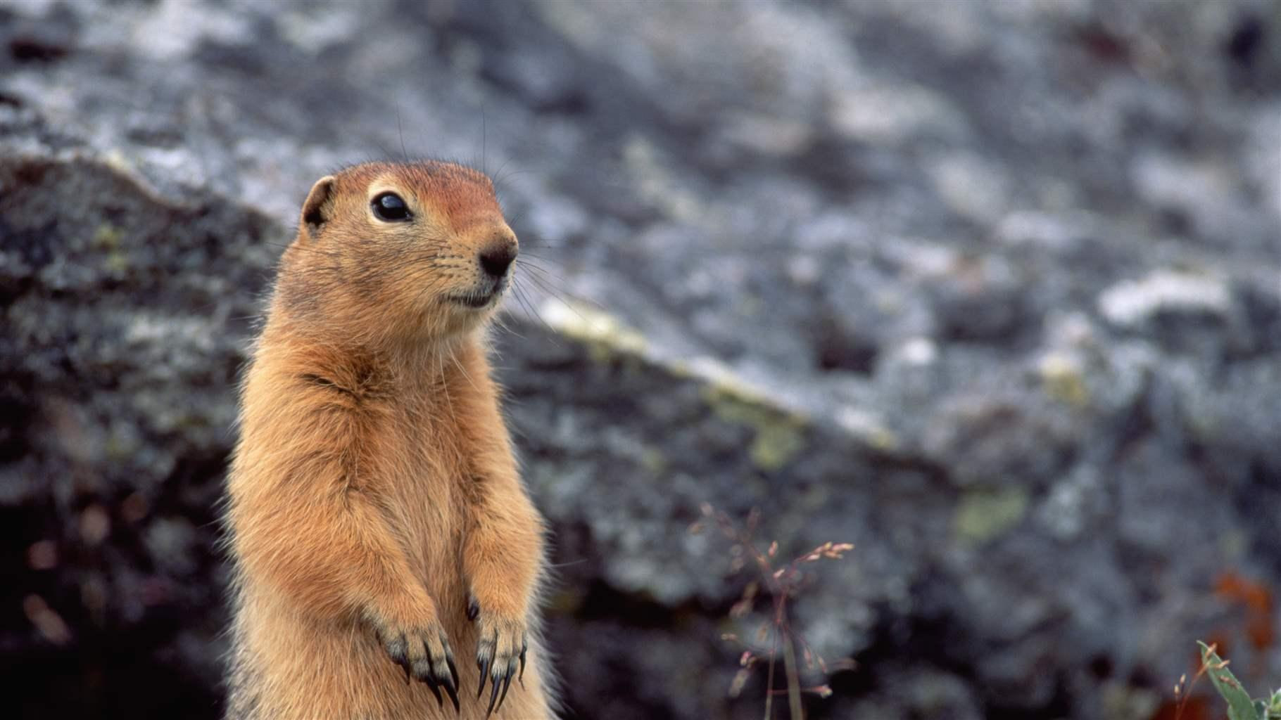 Arctic ground squirrels