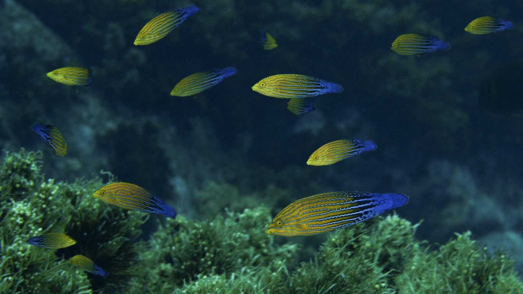 Blue striped tamarin wrasse