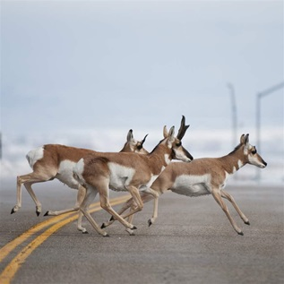 Pronghorn crossing