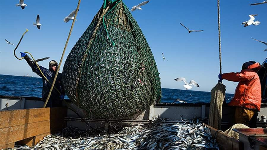 Two fishermen unloading a net full of sea herring on a dragger boat