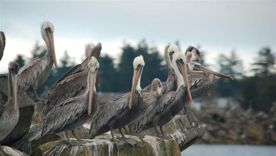 Pelicans looking for forage fish
