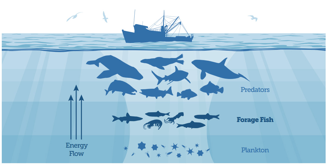 Key to a healthy food web: Forage fish