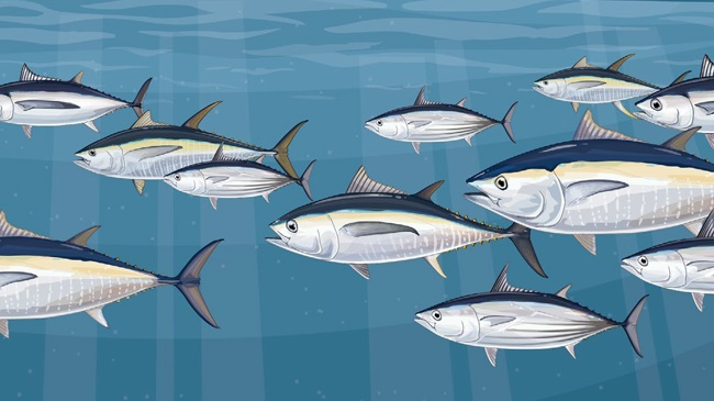 Tuna stocks